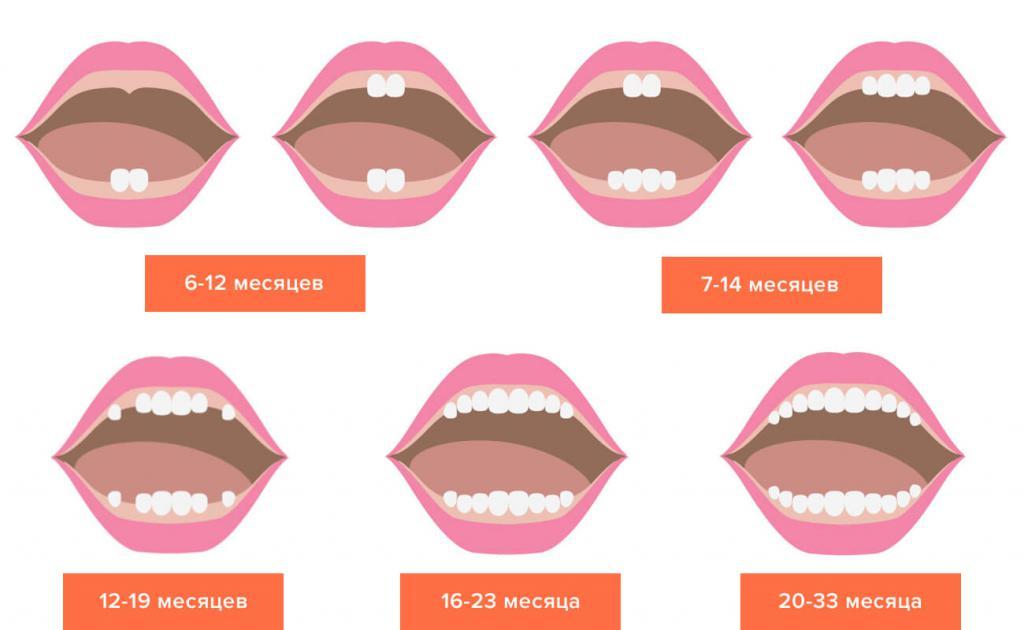 Зубы растут примерно с интервалом в 2 месяца