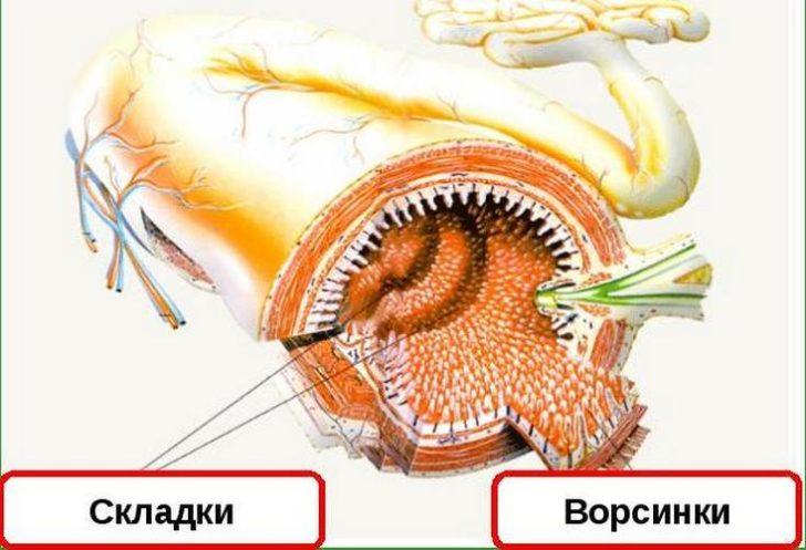 Особенности строения кишечника