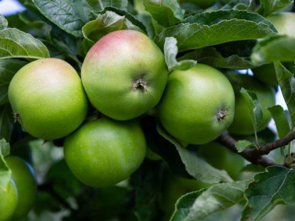 Для прикорма маленьким детям рекомендуются яблоки отечественных сортов