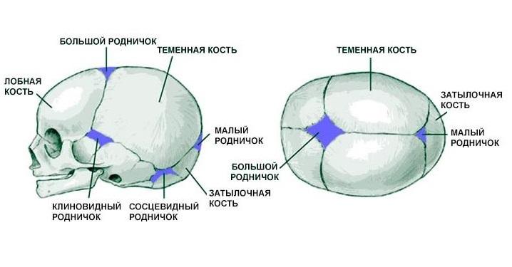 Строение черепа новорожденного