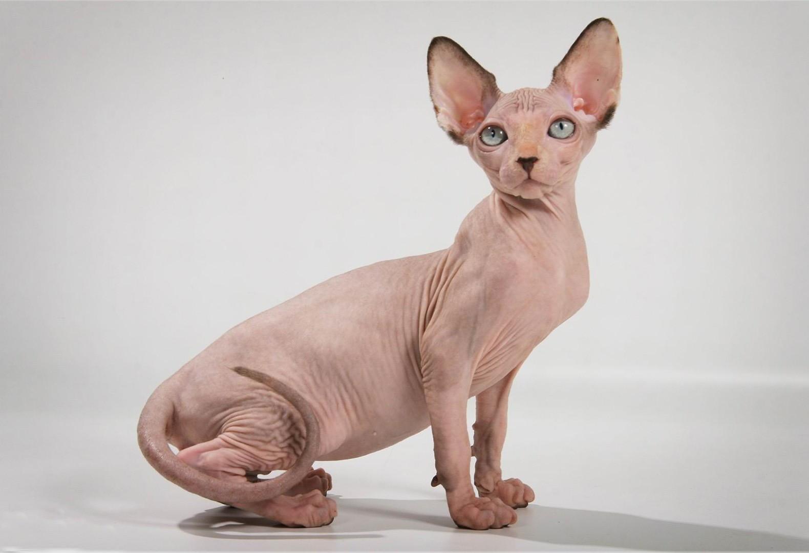 Лысые кошки менее аллергенны